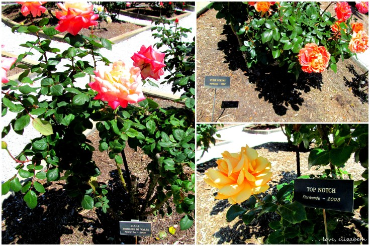 "These roses are named ""Diana, Princess of Wales,"" ""Pure Poetry,"" and ""Top Notch."""