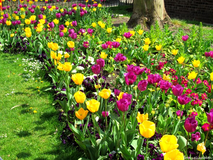 More tulips at Hyde Park