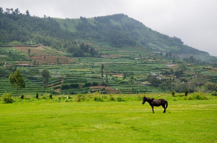 Dieng Plateau Horse