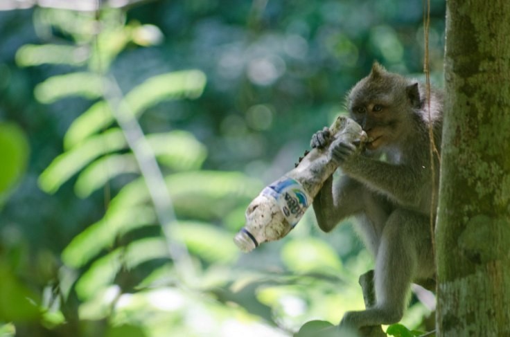 Monkey eating trash