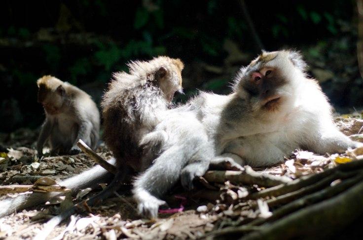 Grooming monkey